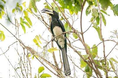 African Pied Hornbill, Makasutu, Gambia, 25 February 2020