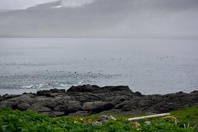 Fuglar á Hornvík
