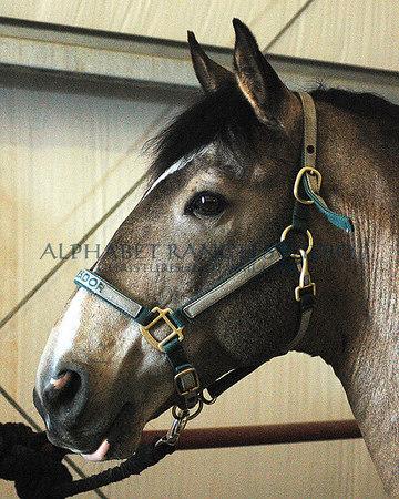 Imperador, Lusitano stallion