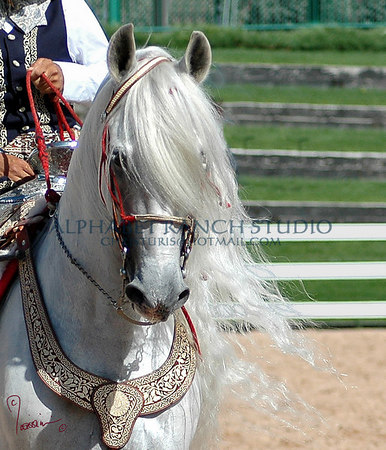 Impetoso D, Andalusian Stallion (PRE) after removing some distracting background and allowing all the mane to show!