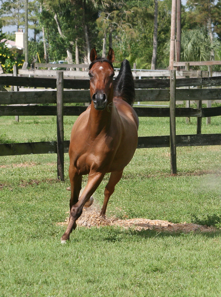 Meet Shiraz. Most if not all of the action shots in this gallery are of this beautiful Arab horse. Shiraz is trained by Terri Preiser of Boca Raton Florida.