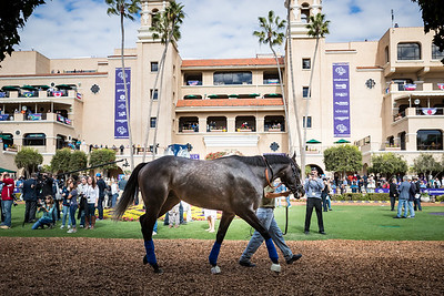 Arrogate schools in the paddock the day before the Breeders' Cup Classic.