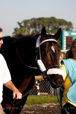 Watch and Go (West Acre) in the paddock before the Tampa Bay Derby Photo by Amber Chalfin