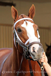 El Padrino (Pulpit) before the Remsen Stakes at Aqueduct 11/26/11. Trainer: Todd Pletcher. Owner: Let's Go Stable.
