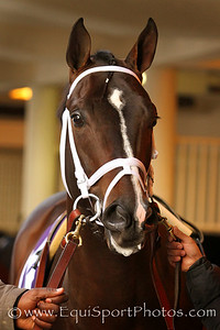 Verrazano (More Than Ready) before the Cigar Mile (Gr I) at Aqueduct Racetrack 11/30/13. Trainer: Todd Pletcher. Owner: Let's Go Stable
