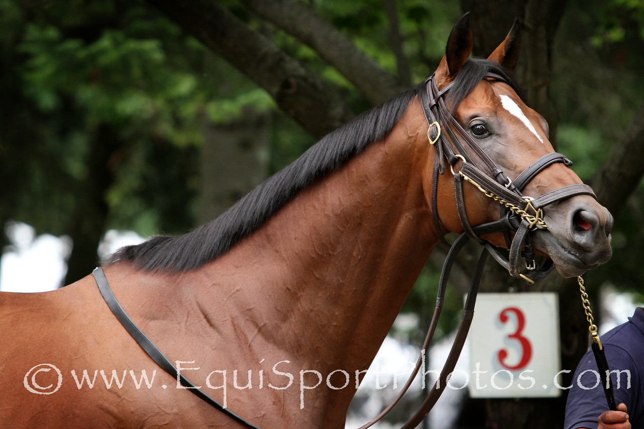 Kid Cruz schools in the paddock at Saratoga Racecourse 8/16/14. Trainer: Linda Rice. Owner: Vina Del Mar Thoroughbreds, LLC & Black Swan Stable