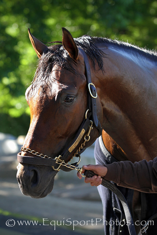 Commissioner (A. P. Indy) trains for the Belmont Stakes (Gr I) at Belmont Park 6/1/14. Trainer: Todd Pletcher. Owner: WinStar Farm