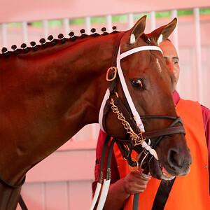 Holy Boss (Street Boss) and jockey Rocardo Santana Jr. win the Amsterdam (Gr II) at Saratoga Racecourse 8/1/15. Trainer: Steven Asmussen. Owner: Jerry Durant