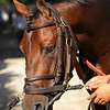 Connect (Curlin) before the Travers (Gr I) at Saratoga Racecourse 8/27/16. Trainer: Chad Brown. Owner: Paul Pompa Jr.