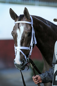 Maedean (Tapit) before the Demoiselle (Gr II) at Aqueduct Racetrack 12/7/19. Trainer: Mark Hennig. Owners: Courtlandt Farm