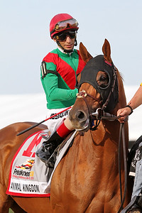 Animal Kingdom and jockey John Velazquez go to post for the Preakness Stakes (Gr. I) at Pimlico Racecourse 5/21/11.  Graham Motion trainer, Team Valor International owner JH.