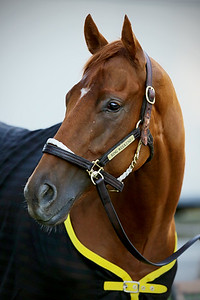 Ring Weekend (Tapit) after the Preakness Stakes (Gr I) at Pimlico Racecourse 5/17/14. Trainer: Graham Motion. Owner: St. Elias Stable & West Point Thoroughbreds