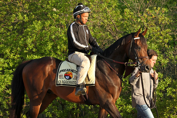 Exaggerator (Curlin) trains for the Preakness Stakes (Gr I) at Pimlico Racecourse 5/20/16. Trainer: Keith Desormeaux. Owner: Big Chief Racing LLC