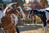 Color & Gelding classes-111