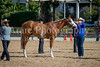 Color & Gelding classes-159