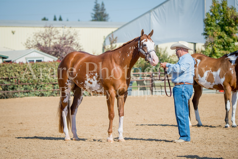Color & Gelding classes-181