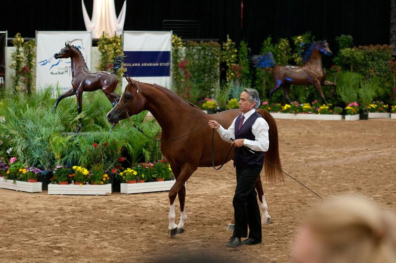 Stallions 4 yr-5011