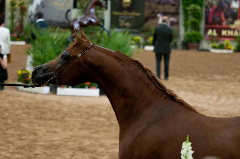 Stallions 4 yr-4978