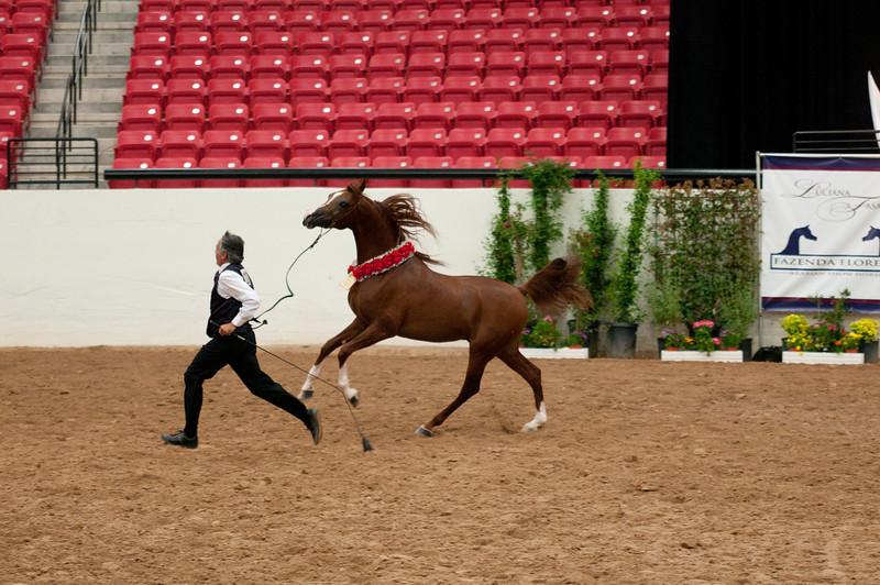 Sr stallion 4yr-5263