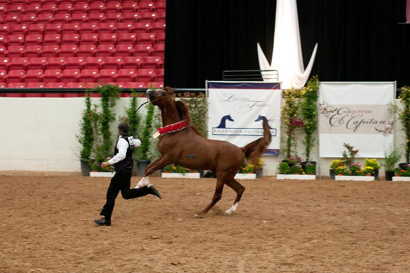 Sr stallion 4yr-5261
