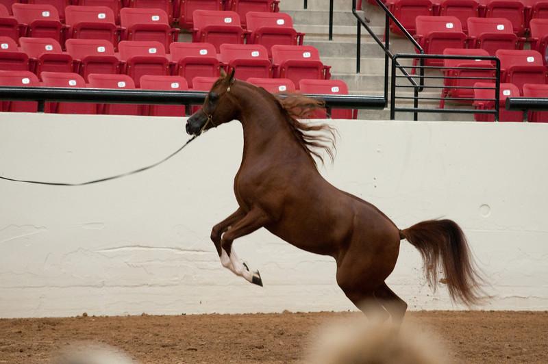 Stallions 4 yr-4922
