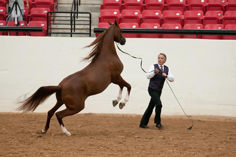 Stallions 4 yr-4930