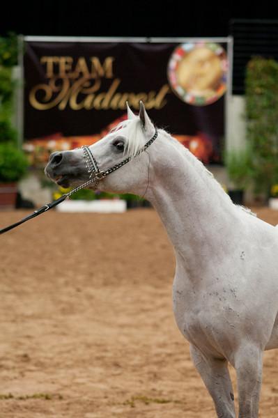 Sr stallion 5yr-5459