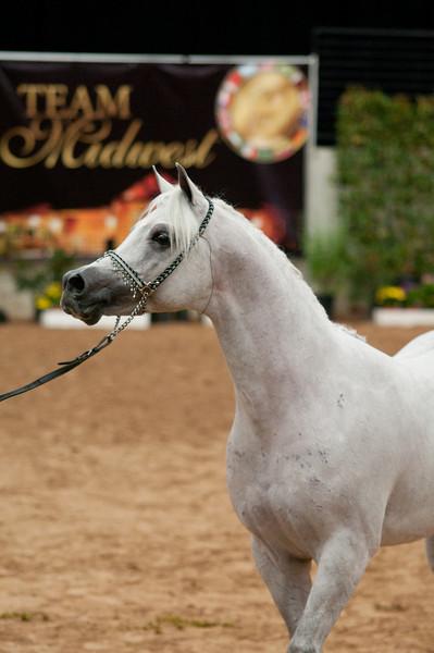 Sr stallion 5yr-5458