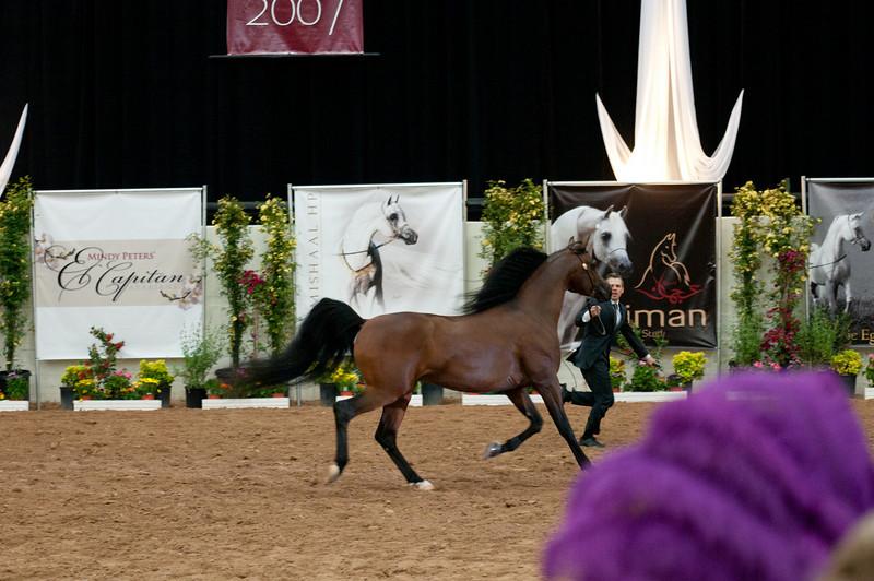 Sr stallion 5yr-5366