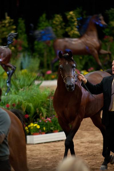 Sr stallion 5yr-5339