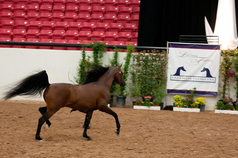 Sr stallion 5yr-5358
