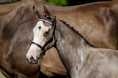 Sleep Hollow Sport Horses
