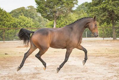 Friesian Sporthorse Association