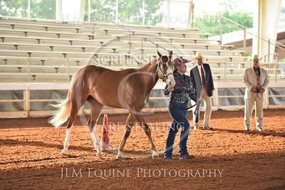 1 Jr. Amateur Stallions