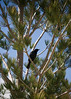 CHP0508-C5366  Starlings everywhere!