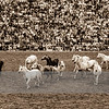 """Enjoy my <i>Stallion Parade</i> impressions captured October 1990 at the <b><a class=""""url"""" href=""""http://www.gestuet-marbach.de/"""" target=""""_blank"""">Haupt- und Landgestuet Marbach</a></b> with a Minolta Dynax 7000i and a Minolta AF 70-210/3.5-4.5 on slide film, scanned and edited in Adobe Photoshop Lightroom. In case you wish to view a colorful parade click <b><a class=""""url"""" href=""""https://horsian.smugmug.com/Horse/Breeding/MarbachHP90"""" target=""""_blank"""">Colorful Stallion Parade at Haupt- und Landgestuet Marbach</a></b>."""