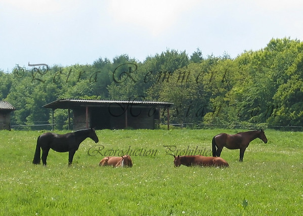 Ronja and my horse are watching over the two year old sleeping mares. Ronja is the mother of the chestnut with the white blaze.