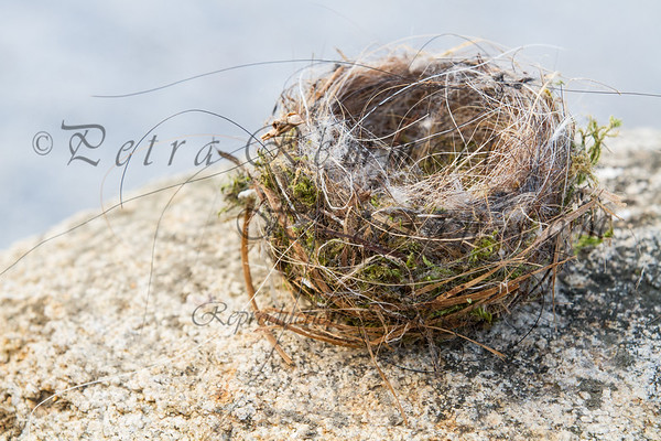 Which bird was the amazing builder of this nest? Materials used: Mane and/or tail horse hair, moss, hay. What else do you see?