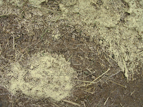 Pollen accumulation on ground (dried puddle).