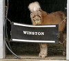 "Despite the rain, ""Winston Wednesday"" saw the miniature horse in residence at the Kentucky Derby Museum getting ready for an indoor tour."