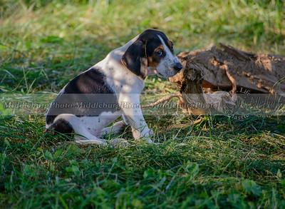 PFH Puppies-73