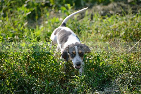 PFH Puppies-34