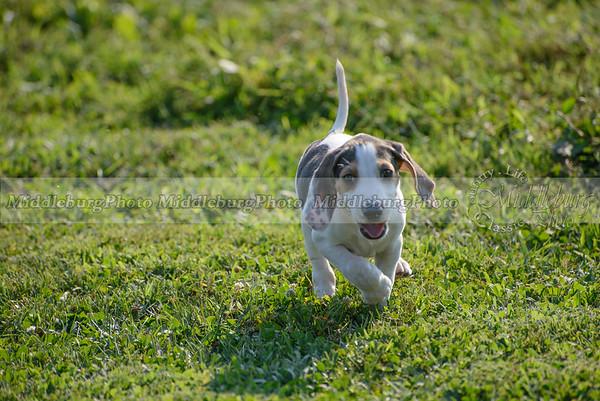 PFH Puppies-49