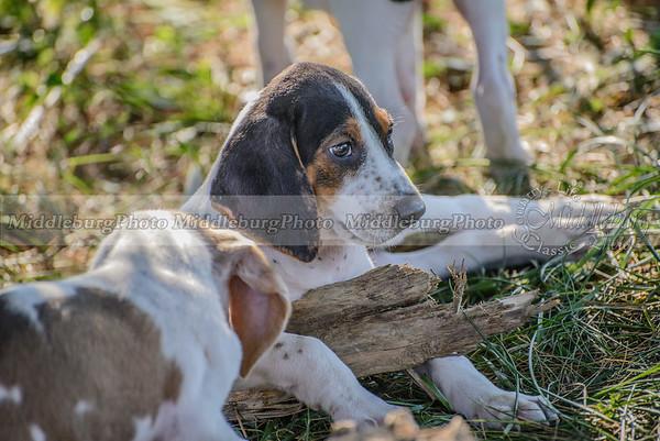PFH Puppies-98