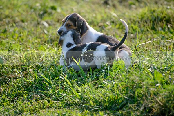 PFH Puppies-36