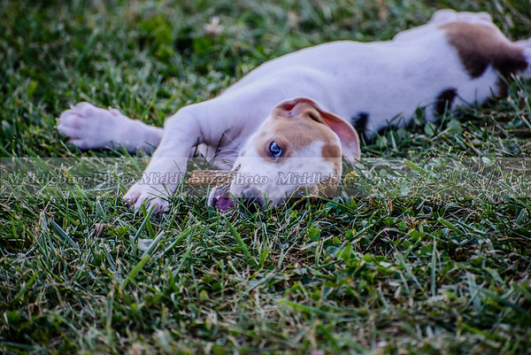 PFH Puppies-168
