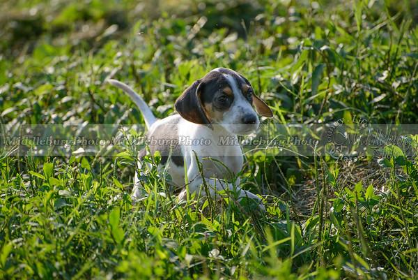PFH Puppies-32