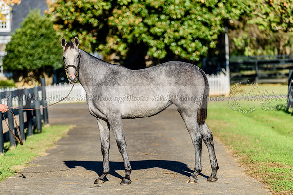 Yearling Filly by Honorable Dillon-She Gets It