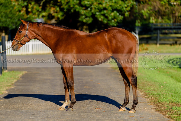 Bay Colt Yearling - Oxbow-Way With Words