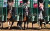 Emmy Who with Amanda Tamburello (red blinkers), Fighting Xena with Lori Wydick (red cap) and Prom Theme with Megan Fadlovich (white cap) at the break. After stumbling at the break Fighting Xena went on to win the 6th race at Belterra Park 07.04.2014